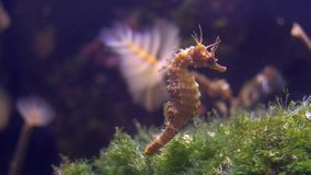 Aquarium of genoa, seahorse. Seahorses are mainly found in shallow tropical and temperate waters throughout the world stock footage