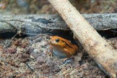 Aquarium of Genoa, tomato frog Stock Images
