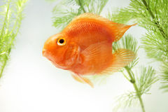 Aquarium Gold Fish. Aquarium Golden Parrot Fish and Waterweed royalty free stock image