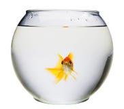 Aquarium with goldfish. Aquarium with a goldfish in it isolated over white Stock Images