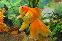 Aquarium goldfish carp Stock Photos
