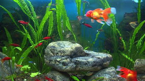 Aquarium with goldfish stock video footage