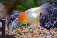 Aquarium goldfish - oranda royalty free stock images