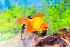 Aquarium goldfish Stock Photo