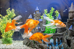 Aquarium with goldfish. Goldfish in the aquarium water close up Royalty Free Stock Photos