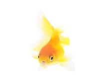 Aquarium goldfish Royalty Free Stock Image