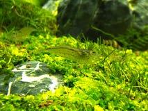 Aquarium-grünes Gras Stockbild