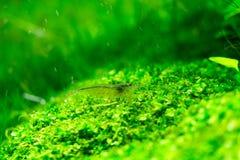 Aquarium-grünes Gras Lizenzfreie Stockbilder
