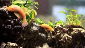 Aquarium with green plants and fish. Background Aquarium with plants and Fish stock footage