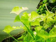 Aquarium Groen Gras Stock Afbeeldingen