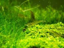 Aquarium Groen Gras Royalty-vrije Stock Fotografie