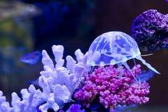 Aquarium. Jelly-fish in aquarium it's so cute Stock Image