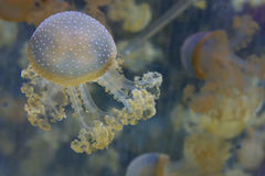 Aquarium Jellyfish in the deep blue. Jellyfish in the deep blue background Stock Images
