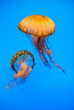 Aquarium Jellyfish in the deep blue. Jellyfish in the deep blue background Royalty Free Stock Photo
