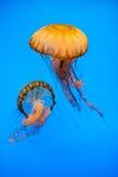 Aquarium Jellyfish in the deep blue Royalty Free Stock Photo