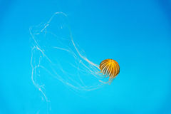 Aquarium Jellyfish in the deep blue. Jellyfish in the deep blue background Stock Photo