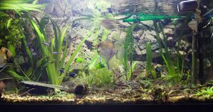 Aquarium landscape with gurama fishes and tetras royalty free stock photos