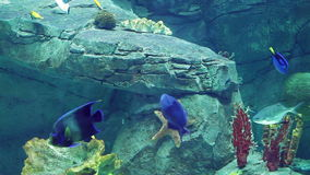 Aquarium with a large amount of tropical fish large and small stock video footage