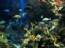 Aquarium life. Colorful aquarium, showing different colorful fishes swimming Royalty Free Stock Photography