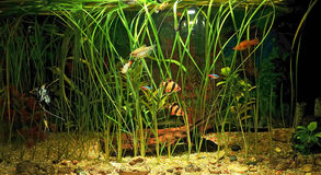 Aquarium with many fish and natural plants .120 L Royalty Free Stock Photography