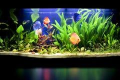Aquarium met sommige tropische fisches Royalty-vrije Stock Fotografie