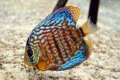 Aquarium met sommige tropische fisches stock afbeelding