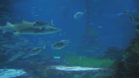 Aquarium met vissen en haaien stock footage