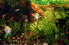 Aquarium mit Fischen. Grünes Thema Stockbild