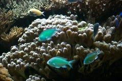 Aquarium mit Fischen und Korallen Stockfotografie