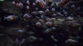 Aquarium mit vielen Piranhas stock footage