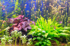 The aquarium with multi-colored algae and exotic fish royalty free stock photo