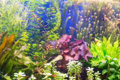 The aquarium with multi-colored algae and exotic fish stock images