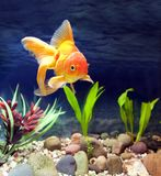 Aquarium Native Gold Fish. Aquarium native hardy fancy gold fish, Red Fantail Royalty Free Stock Photo