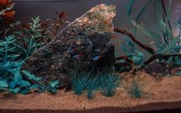 Aquarium with neon tetra. Decorative aquarium with neon tetra and a dramatic landscape Stock Photo