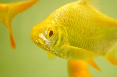 Aquarium ornamental fish Stock Photos