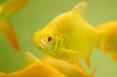 Aquarium ornamental fish Stock Images