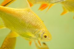 Aquarium ornamental fish Royalty Free Stock Photography