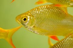 Aquarium ornamental fish Royalty Free Stock Image