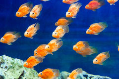 Aquarium parrot fish Royalty Free Stock Photo