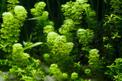 Aquarium Plant. Green Aquarium Plant for background Royalty Free Stock Photos