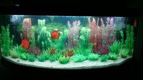 Aquarium. Planted aquarium with discus and neon fish Royalty Free Stock Image