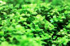 Aquarium plants Stock Images