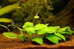 Aquarium with plants Royalty Free Stock Photography