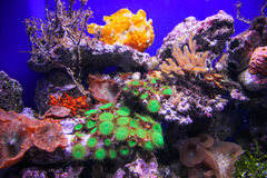 Aquarium with plants and corals. Vivid colored aquarium with plants and corals and blue background Royalty Free Stock Image