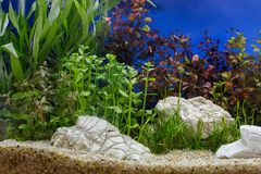 Aquarium plants decoration, aquatic fern and aquarium plant grow. Th in aquarium tank royalty free stock photos
