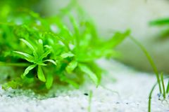 Aquarium plants Royalty Free Stock Photo