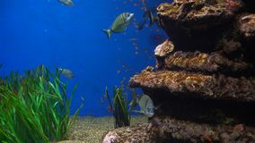 Aquarium with plants and tropical colorful fishes. Sea Aquarium with plants and tropical colorful fishes stock video