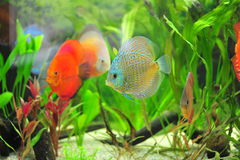 Aquarium - poisson tropical de disque Photos libres de droits