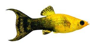 Aquarium populaire de Lyretail de la poussière d'or (femelle) Photographie stock libre de droits