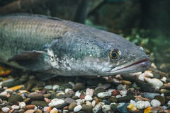 Aquarium predatory fish Channa snakehead in search of a victim Royalty Free Stock Photos